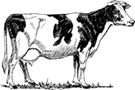 emporio-cow-beef-meat